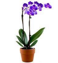 Lavender Orchid Plant