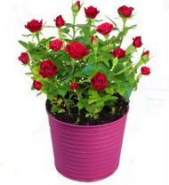 Rosey Day Rose Plant - Farm Fresh