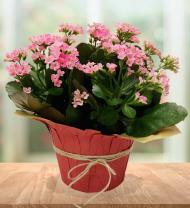 Vibrant Kalanchoe Planter