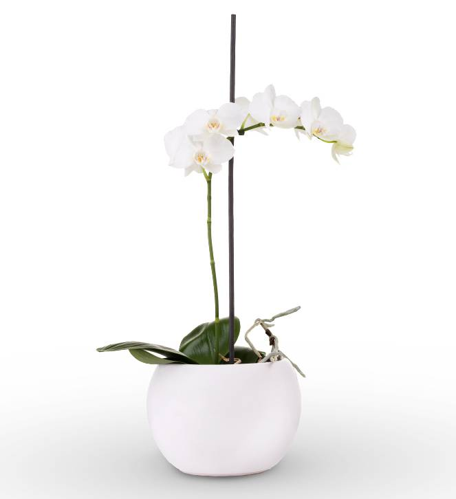 White Sympathy Orchid