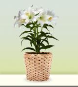 Graceful Easter Lily Plant